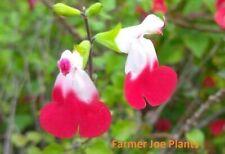 "Salvia - Hot Lips - 1 Live Plant 4"" Pot"