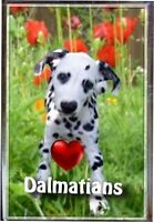 Dalmatian Gift Dog Fridge Magnet 77 x 51mm Birthday Gift Xmas Mothers Day Gift