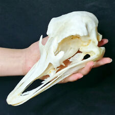 "1 Pcs Real ostrich skull/ Real animal specimens / Halloween gift/ size:6~8""/New"