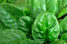 Organic American Spinach Seed 200ct Slow Bolt Baby Greens Xtra Tender&Flavorfull