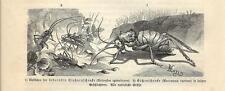 Stampa antica INSETTI Hetrodes spinulosus e altri INSECTA 1891 Old antique print