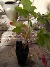chocolate mint geranium Pelargonium hortorum 1x perennial plant tube size