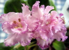 African violet PLUG starter plant MORGAN'S KATUNDRA