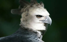 Framed Print - Harpy Eagle - The World's Largest Eagle (Bird Animal Picture Art)