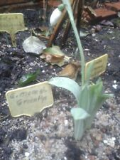 Galanthus elw. monostictus Green Tips , im Gittertopf im Freien gewachsen,