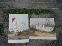 Harrison weir antique prints ,  Pair of 19th century colour prints
