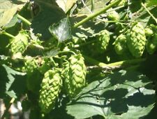 Grow organic NON GMO Humulus Lupulus Hops Vine Seeds Brew Beer Save
