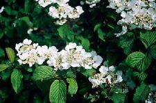 Viburnum plicatum Mariesii shrub in 9cm pot