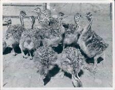 Press Photo Cute Baby Ostriches Birds Ewing Galloway