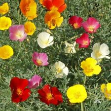 Poppy Mix Color Flower Garden 15 Fresh Seeds Free Shipping in Usa