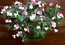 Sweet Pea - Cupid Pink - 40 seeds Basket type - Annual