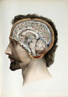 19TH C. ANTIQUE MEDICAL HUMAN BRAIN A3 POSTER RE PRINT