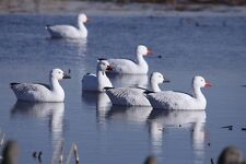 SNOW GOOSE FLOATER DECOYS 4pk (AV71088) GREENHEAD GEAR GHG Avery Outdoors