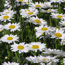 OX-EYE DAISY (LEUCANTHEMUM) - WILD FLOWER 6000 SEEDS (2g) oxeye wildflower seed