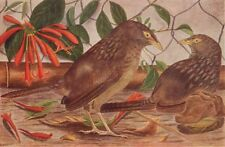BIRDS OF INDIA. Bengal Jungle-Babbler Seven Sisters (Turdoides terricolor) 1924