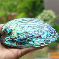 Abalone Shell 13x10 CM Polished Shells Fish Tank Gardening Home Ornament Decor
