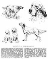 English Setter Sketch - 1963 Vintage Dog Print - Matted