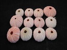 12 Pink Sea Urchin Seashells Shells Beach Wedding Craft Nautical Decor Airplant