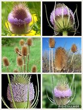 Teasel. 'Dipsacus fullonum' seeds. 1g (est 250 seeds)