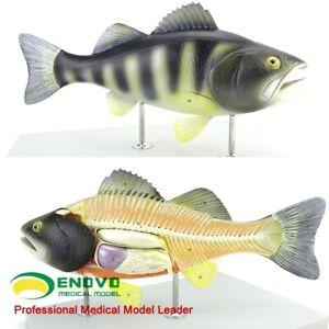 "50cm 22""Animal Fish 5-parts Plastic Perch Anatomical Model Animal Anatomy model"