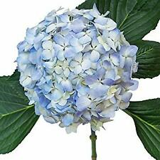 Premium Assorted Hydrangea / 20 stems / Grower Direct / Quality Guaranteed