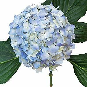 Premium Blue Hydrangea / 20 stems / Grower Direct / Quality Guaranteed
