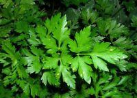 Leaf Parsley Seeds organic seeds non gmo Ukraine 1 g Farmer's dream