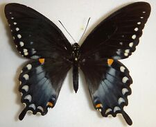 Papilio troilus Indiana Spicebush Swallowtail Butterfly Moth Insect BIG
