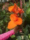 Orange Canna Lily Bulbs. (3) Bulbos de coyoles anaranjados (3)