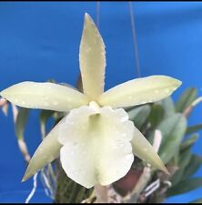 Rhyncholaelia glauca 'Pale Jade' Am/Aos X Self Orchid Species 3� Pot (15)