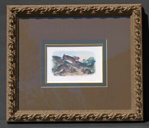 "JJ AUDUBON ""Grey Rabbit Old&Young"" No 5 Plate 22 Printed by Nagel & Weingaertner"