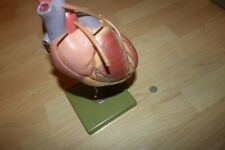 Somso Modelle Human Heart Anatomical Model Vintage