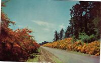 Vintage Postcard - Scotch Broom Growing In The Pacific Northwest Unposted  #2553