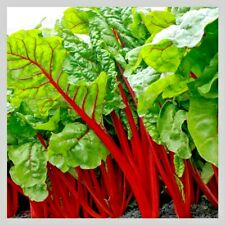 Swiss Chard Rhubarb Seeds | Vegetable Seeds for Planting Home Gardens | Non-Gmo