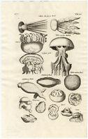 Antique Print-JELLYFISH-SEA CUCUMBER-Jonston-Merian-1657