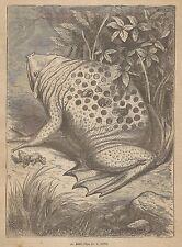 A1930 Pipa - Incisione - Stampa Antica del 1891 - Engraving