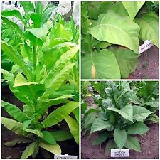 amerikanische Tabaksamen Samen Saatgut Kombi-Paket 3 Sorten