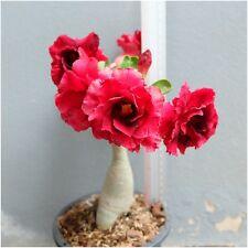 "Adenium Obesum Grafted Plants Desert Rose Impala Lily ""Sudsaw"" Fresh Tall 8"""