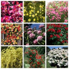 100 Climbing Rose Seeds Rare 10 Kinds Beautiful Garden Decorative Plants Bonsai