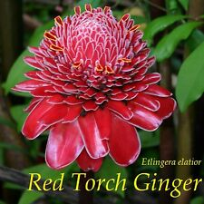 ~Red Torch Ginger~ Not a Br Rhizome! Etlingera elatior Live Small Potted Plant