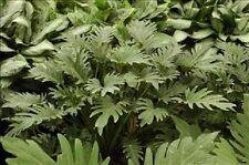 """philodendron """"Deja Vu"""" live plant"""