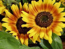 Helianthus Solar Flash Sunflower Seed Dwarf Easily Grown Children/Beginner