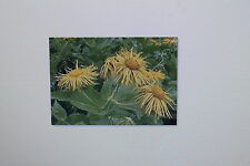 20 Semilla Alant,inula Helenium,Invierno Hart,perenne, # 29