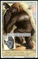 Mountain Gorilla Monkey Ape Primate Monte NICE 60+ y/o Trade Ad Card