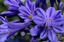 25+ AGAPANTHUS PURPLE LILY OF THE NILE FLOWER SEEDS / PERENNIAL