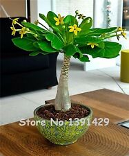 5 Pieces Mini Pachira Macrocarpa Seeds, Hawaiian Make Money Tree Plant, Bonsai!