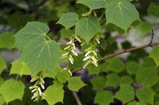 Acer tegmentosum Stripebark Maple Tree Seeds!