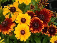 Rudbeckia Seeds To To Mix 50 Seeds Hardy Perennial