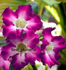 "Adenium Obesum "" Veangvipa"" Fresh&Viable 100 Seeds"