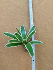 Neoregelia Mini,  kleine Bromelie,  aufgebunden